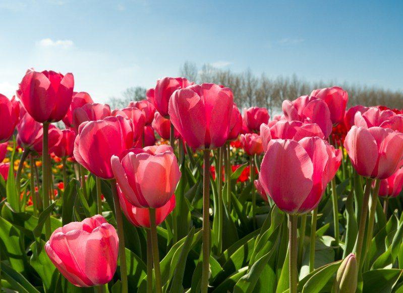 Tulips Blooming Biltmore Estate Spring Flowers